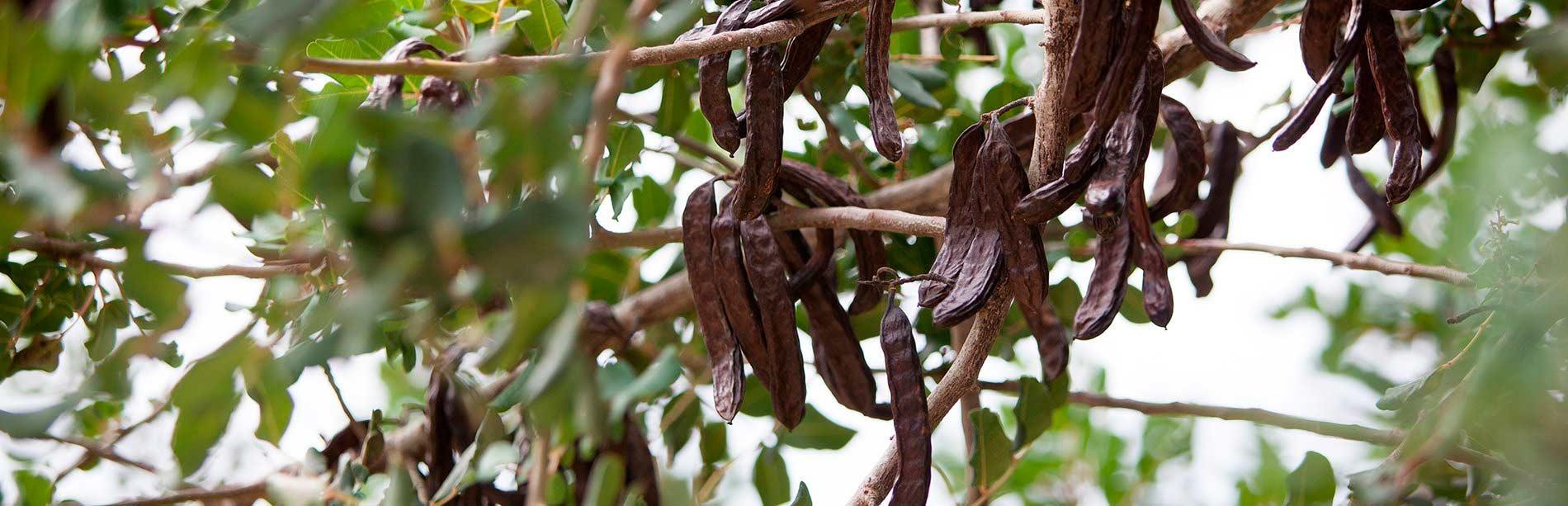 manufacture of locust bean gum