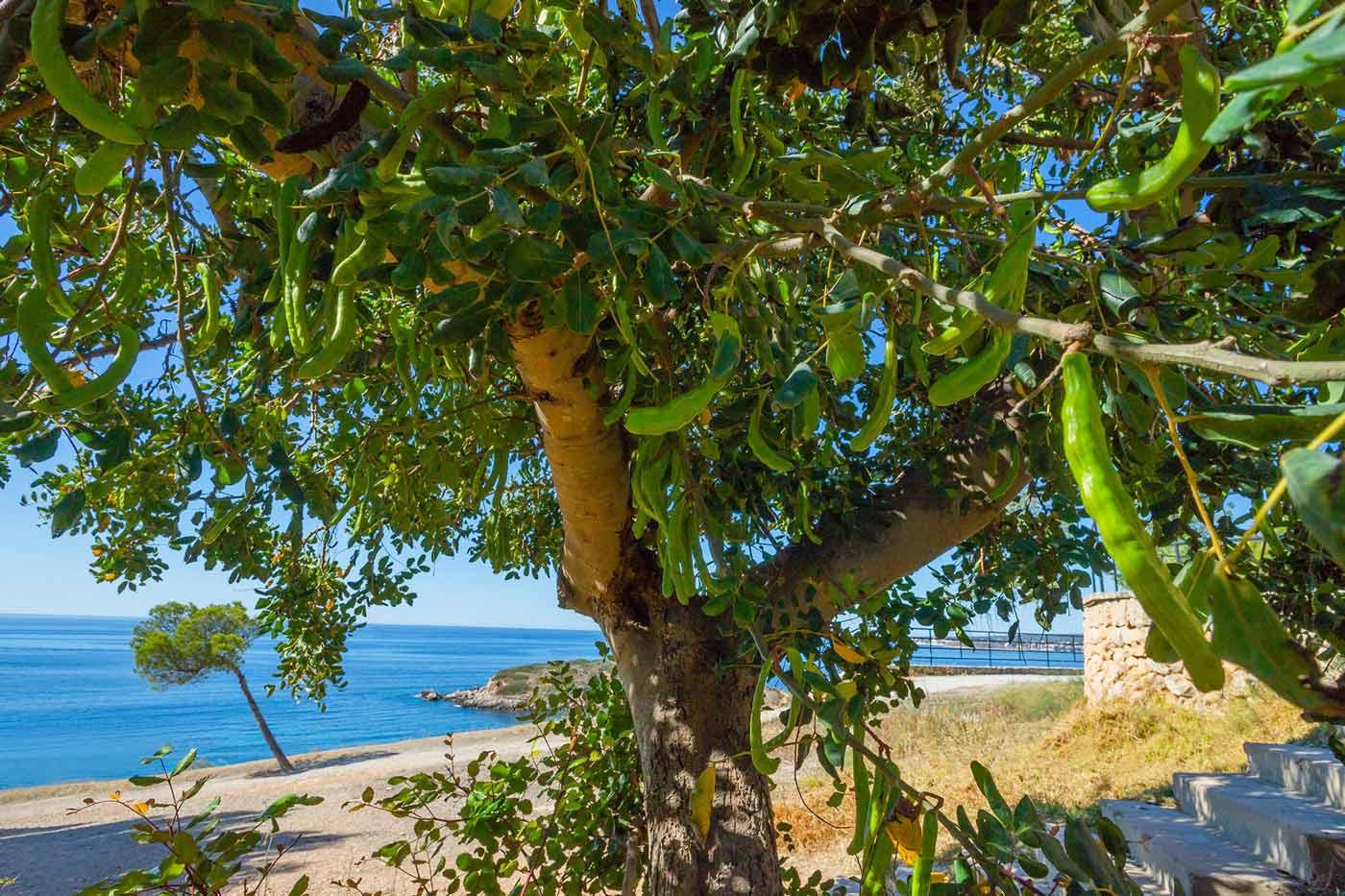 Mallorca algarrobos