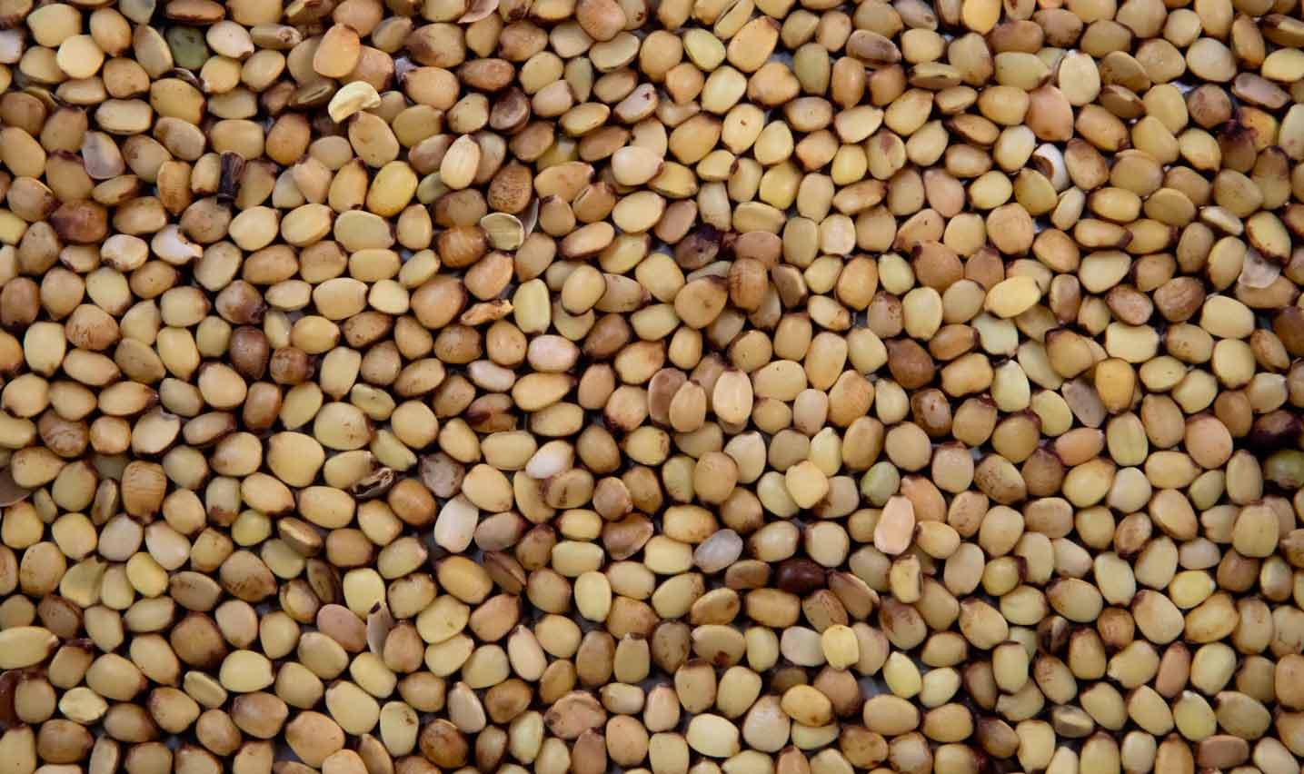Semillas del algarrobo