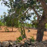 Algarrobos de Mallorca